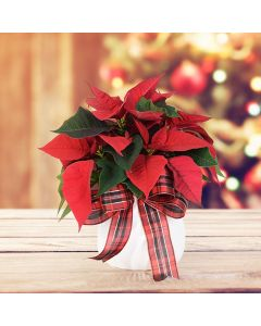 Potted Poinsettia, floral gift baskets, plant gift baskets